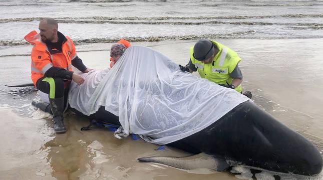 Otras 200 ballenas piloto permanecen varadas en Tasmania