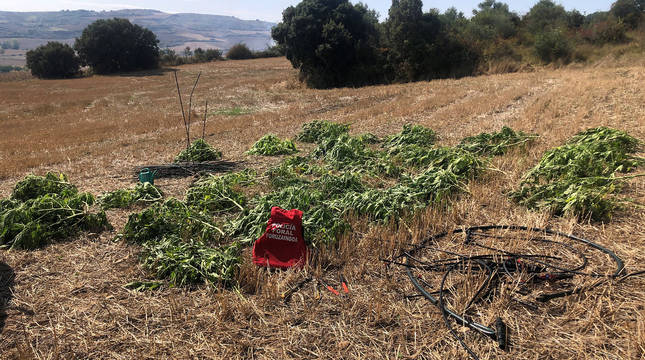 Parte de las plantas de marihuana destruidas.