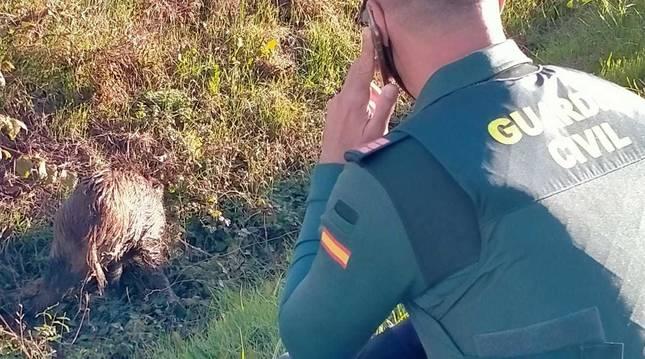Rescatado un jabalí herido en Arazuri