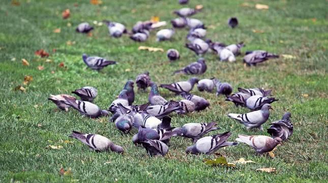 Un grupo de palomas se alimentan en el solar del antiguo parque de bomberos de Pamplona.