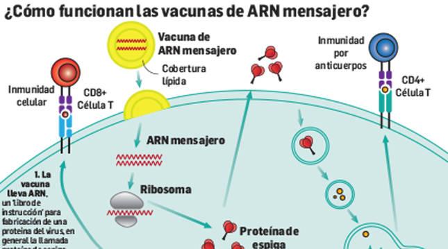¿Cómo funcionan las vacunas de ARN mensajero?