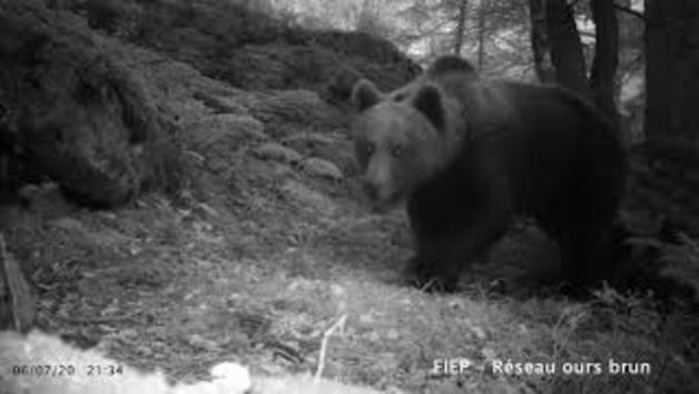 Imágenes de osos machos tomadas en el Pirineo francés