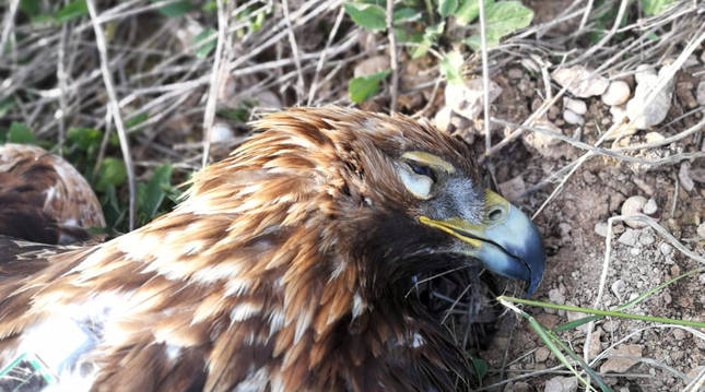 Foto del águila real 'Ause', muerta tras ser electrocutada en un tendido eléctrico.