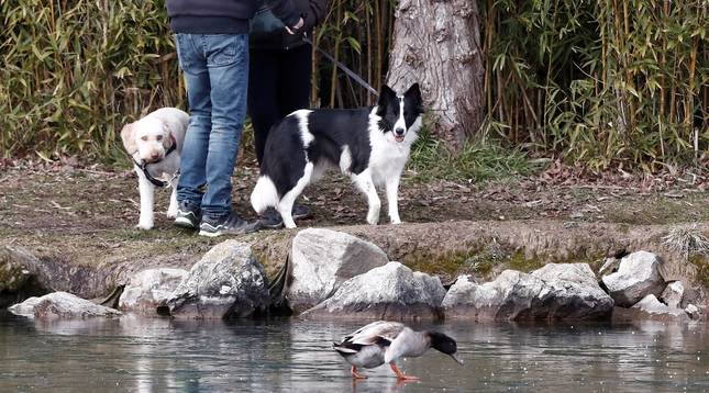 Un pato camina por el agua helada del lago de Mendillorri ante la atenta mirada de dos perros en una jornada donde las bajas temperaturas continuarán este viernes en Navarra.