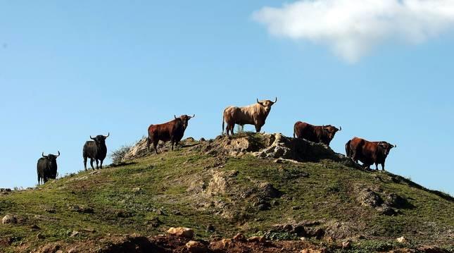 Toros de Fuente Ymbro, en el campo de la ganadería gaditana
