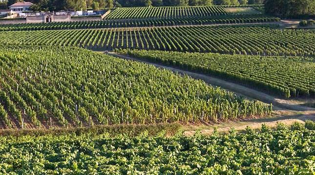 Un viñedo de Francia.