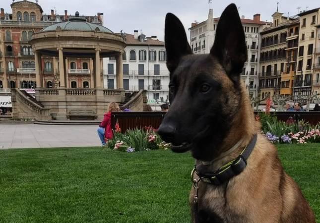 Klaus, el perro policía de la Unidad Canina de Policía Foral que fue agredido por marcar a una persona como portador de droga