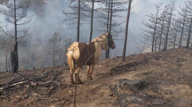 Una yegua de la familia Balda Errandonea, con secuelas del fuego en su cuerpo y una cortina de humo de fondo.