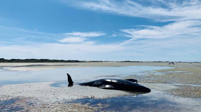 Nueva Zelanda rescata a decenas de ballenas varadas por segunda vez