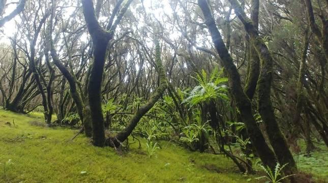 Bosque de laurisilva en el Parque Nacional de Garajonay (La Gomera).
