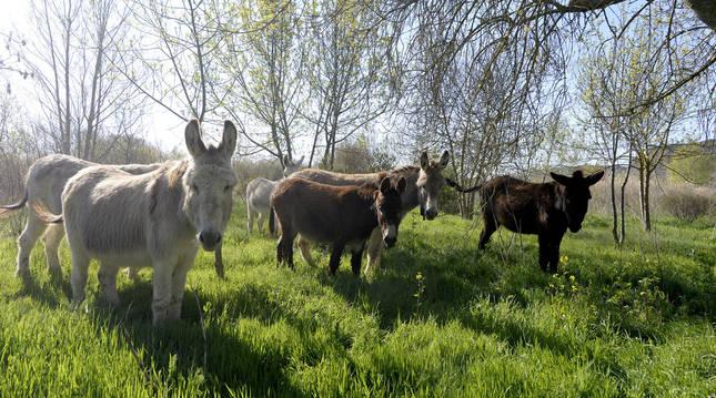 Los diez burros permanecerán en el Territorio Visón de Falces hasta el próximo mes de octubre.
