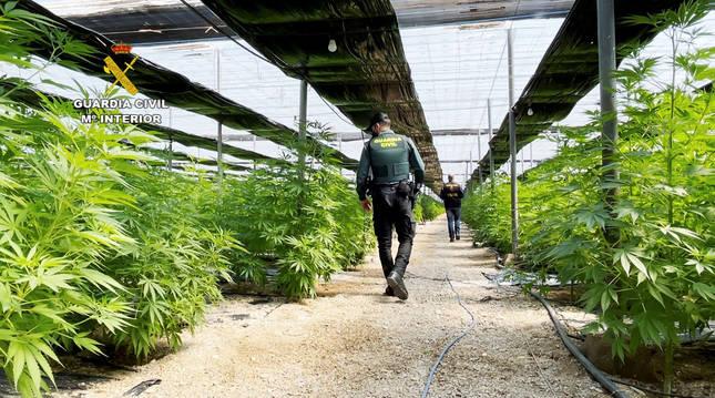 Agentes de la Guardia Civil en el interior de uno de los invernaderos con marihuana de El Ejido.