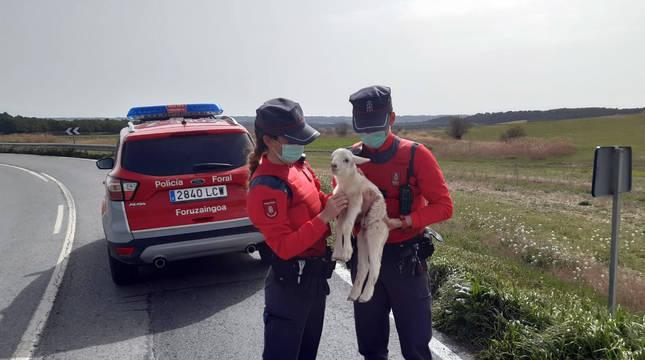 Devuelto a su dueño un cordero descarriado en Rada