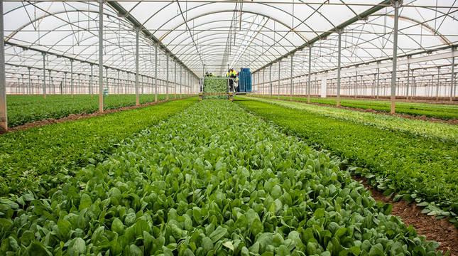 Imagen de uno de los invernaderos en los que Florette cultiva sus vegetales.