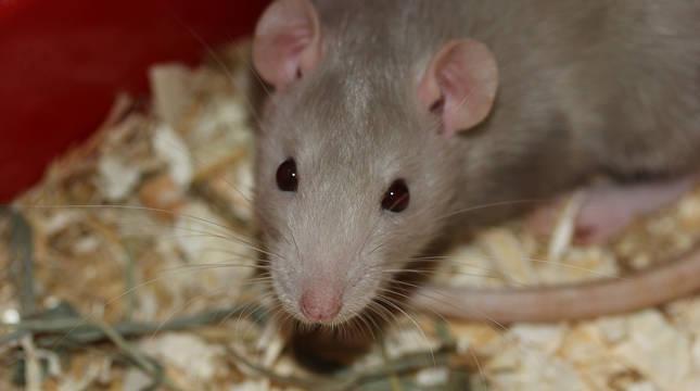 Imagen de una rata.