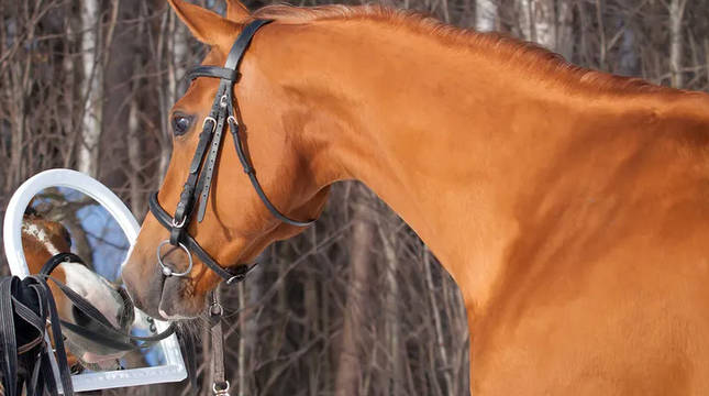 Un caballo, frente a un espejo.