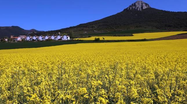 Campos de colza en la Valdorba