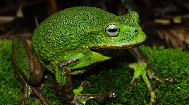 Nueva especie de rana marsupial del género Gastrotheca descubierta en la Amazonía peruana
