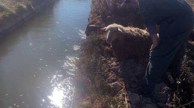 Una de las ovejas rescatadas en Villafranca.
