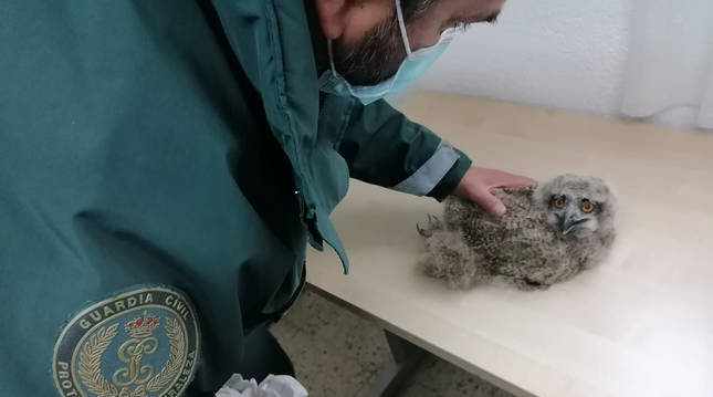 Un agente del Seprona cuida a la cría de búho tras ser rescatda.