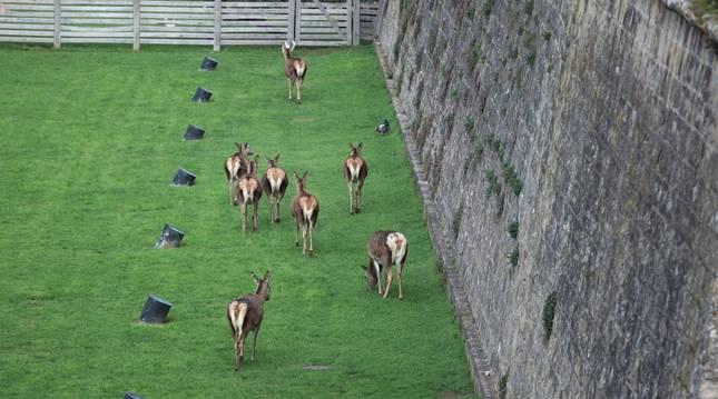 Las 8 ciervas que conviven en los fosos se encontraron ayer con un visitante inesperado.