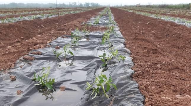 Grupo AN prueba sustituir el plastico en cultivos como tomate por papel biodegradable