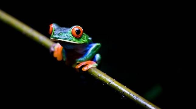 Rana verde de ojos rojos (Agalychnis callidryas), anfibio que habita desde México hasta Colombia.