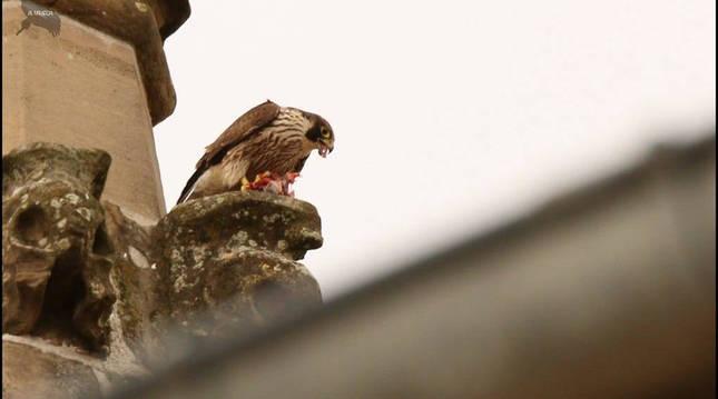 Un halcón como los que se van a soltar en Ansoáin para reducir la presencia de palomas.