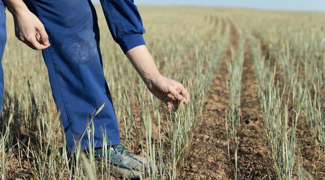 Un agricultor comprueba las plantas de cebada en la ribera navarra.
