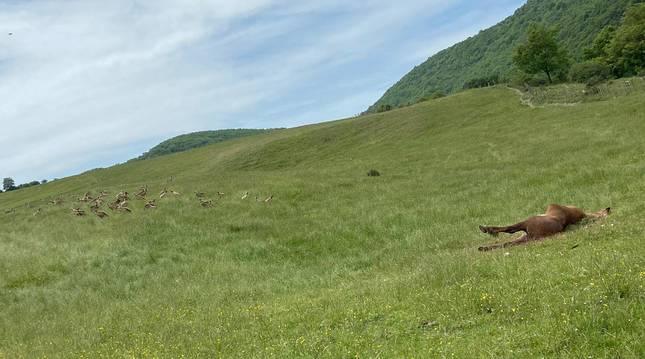 La yegua atacada y, a la izquierda, el grupo de buitres al acecho. Luego la devoraron.