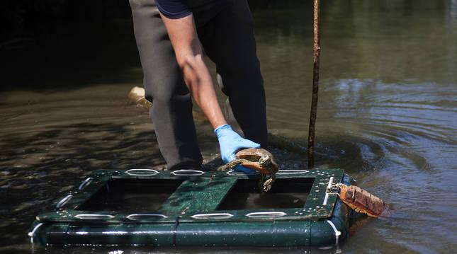 Trampa para galápagos en el río Arga.
