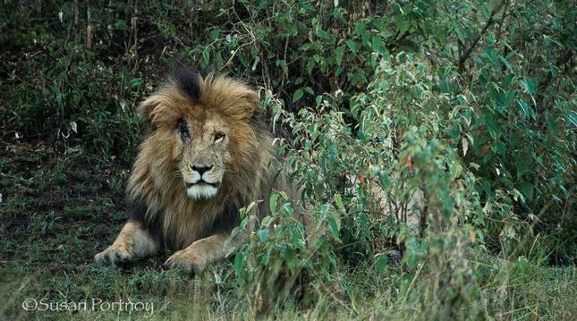 'Scarface' era el león más longevo de la reserva natural del Masái Mara en Kenia