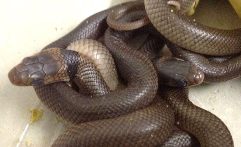 Fotografía cedida sin fechar por el North Queensland Wild Life Care que muestra a siete crías de serpiente junto a sus huevos