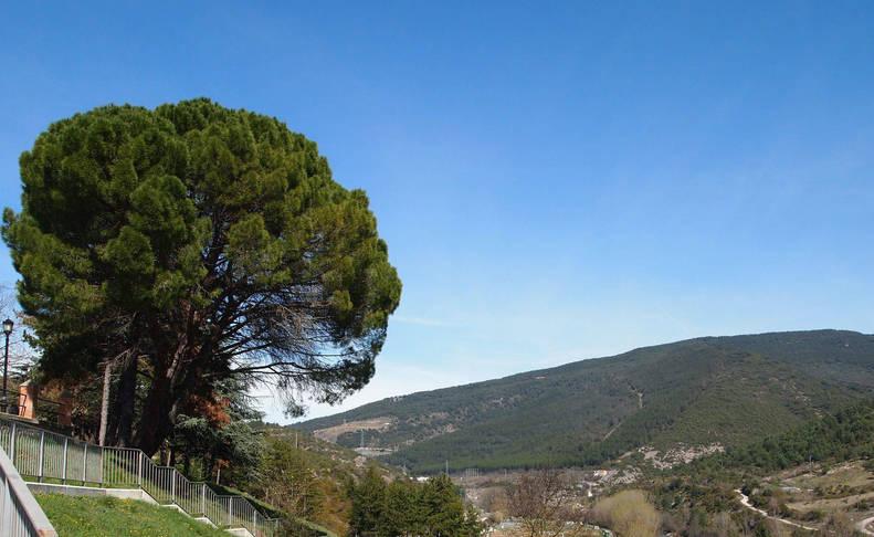 Pino piñonero, típico del Mediterráneo, en la ladera del parque.