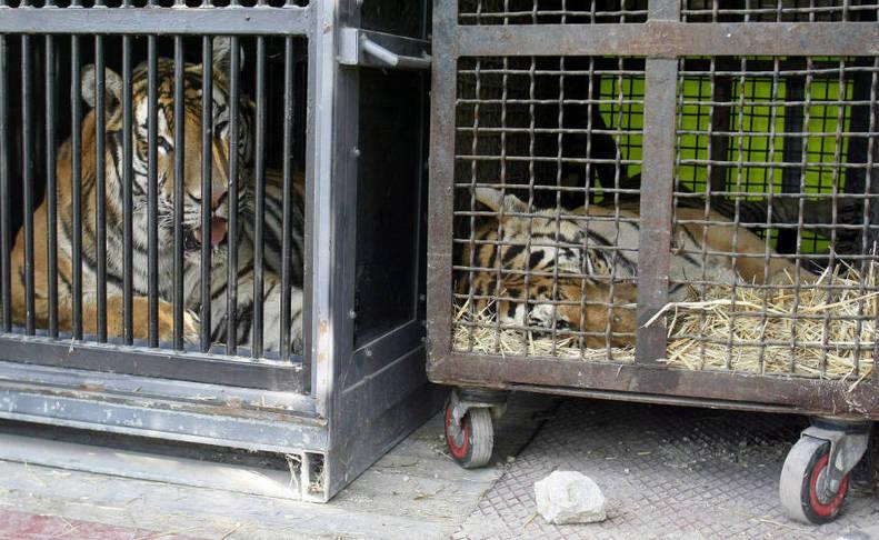 Fotos de animales de circo en jaulas.