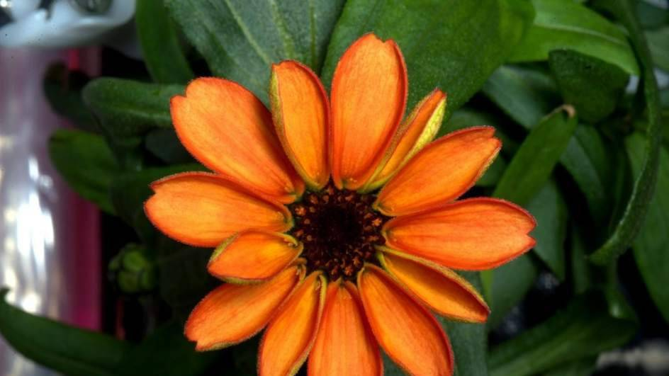 Naturaleza - Una zinnia, la primera flor cultivada en el espacio ...