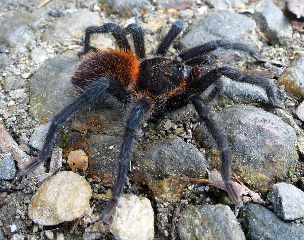 Nueva especie de tarántula lleva apellido de García Márquez