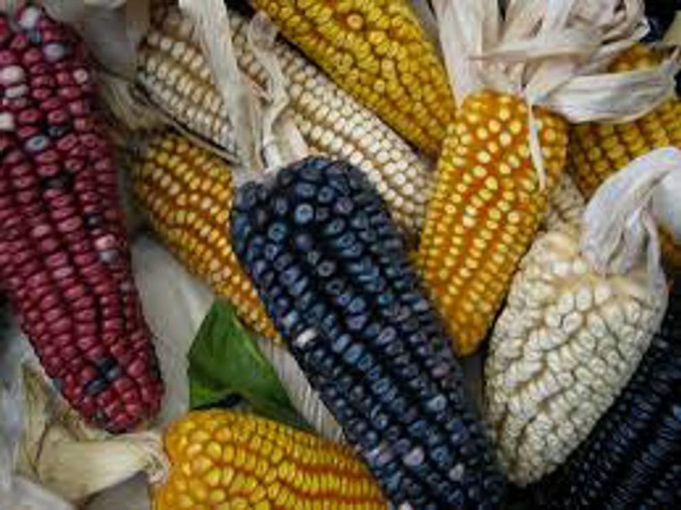 Ecologistas y científicos siguen enfrentados por el maíz