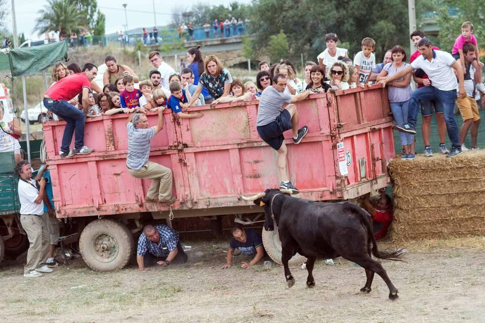 'Traída' de las vacas en Cintruénigo (1/26) - Imágenes del tradicional festejo taurino en la edición de 2017. - Tudela y Ribera -