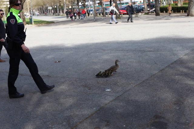 Patos en medio de Pamplona
