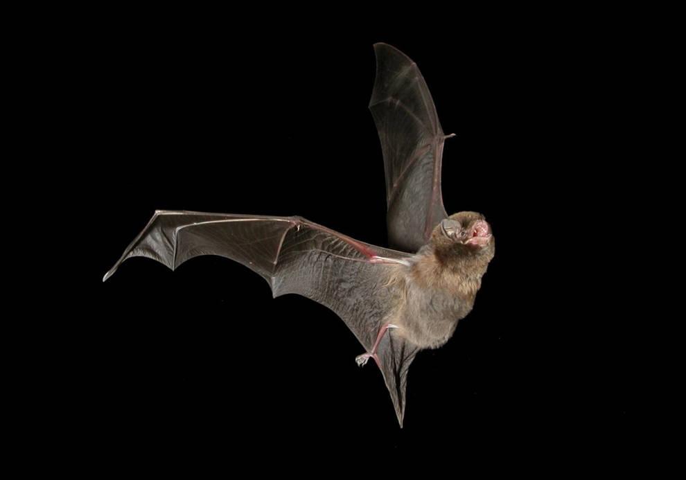 Resultado de imagen de murciélago de cueva (Miniopterus schreibersii)