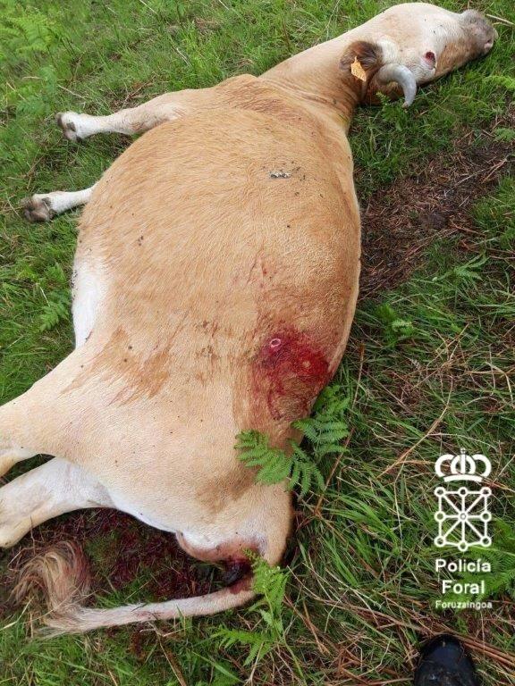 Investigado por matar una vaca Betizu porque le molestaba en Elizondo