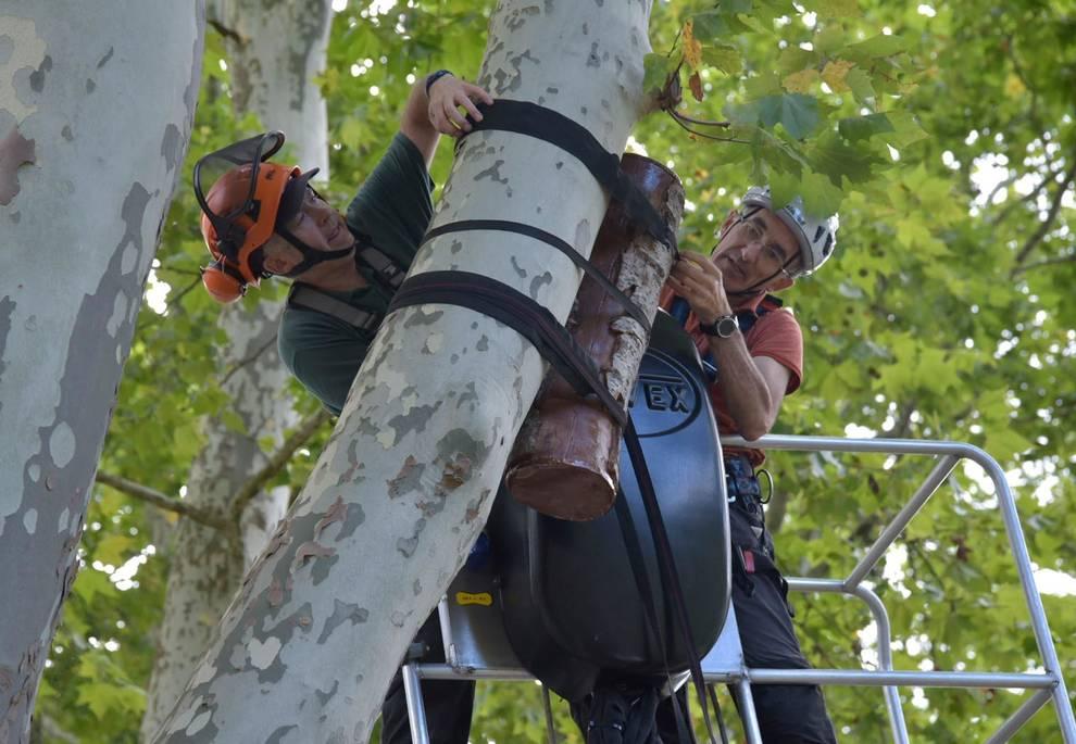 Colocación de ramas huecas para refugio del nóctulo mediano en Pamplona, un murciélago en peligro
