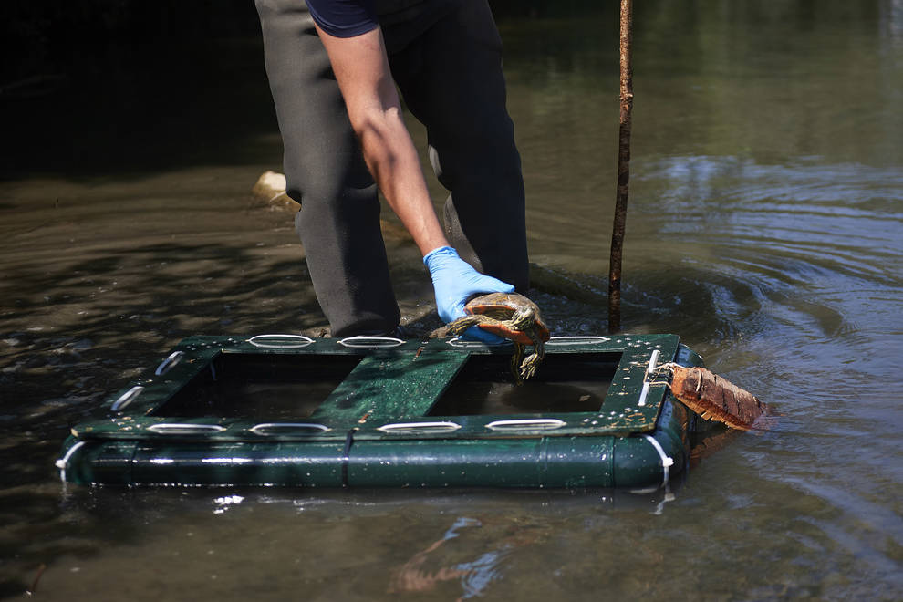 Pamplona instalará trampas para tortugas galápagos de Florida en los ríos