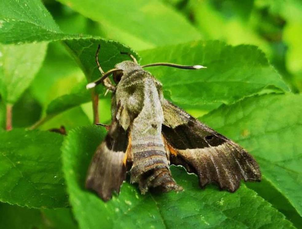 Navarra halla una luz de esperanza para la mariposa Graellsia isabellae