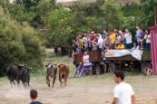 'Traída' de las vacas en Cintruénigo