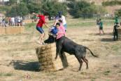 Fotos de la 'traída' de las vacas de Cintruénigo