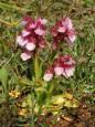 Orquídeas en Navarra