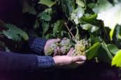 Fotos de la vendimia nocturna de uva chardonnay que se realizó en la Finca Albret en Cadreita